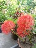 Fiore della palla di maggio Fotografia Stock