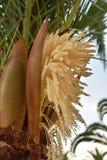 Fiore della palma Fotografia Stock Libera da Diritti