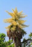 Fiore della palma di Talipot Fotografia Stock