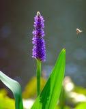 Fiore della palude Fotografia Stock