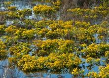 Fiore della palude Fotografia Stock Libera da Diritti