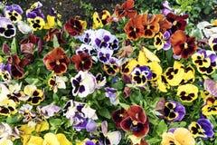 Fiore della pansé immagini stock
