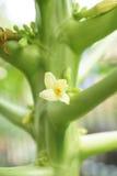Fiore della papaia Immagini Stock Libere da Diritti