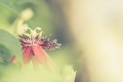 Fiore della passiflora Immagine Stock