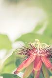 Fiore della passiflora Immagini Stock