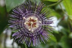 Fiore della passiflora Immagine Stock Libera da Diritti