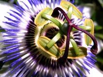 Fiore della passiflora commestibile fotografie stock libere da diritti