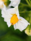Fiore della patata Fotografie Stock