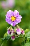 Fiore della patata Fotografia Stock Libera da Diritti