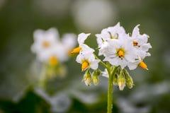 Fiore della patata Immagine Stock Libera da Diritti