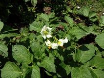 Fiore della patata immagini stock