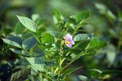 Fiore della patata con la pianta e le foglie Fotografie Stock Libere da Diritti