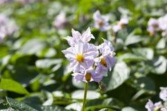 Fiore della patata, primo piano Fotografia Stock