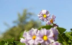 Fiore della patata, primo piano Immagine Stock Libera da Diritti