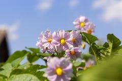 Fiore della patata, primo piano Fotografie Stock Libere da Diritti