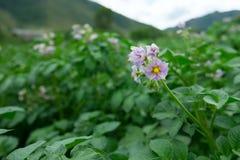 Fiore della patata sul cespuglio verde Fotografia Stock Libera da Diritti