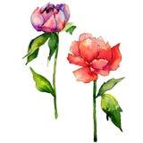 Fiore della peonia del Wildflower in uno stile dell'acquerello isolato Immagine Stock Libera da Diritti