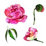 Fiore della peonia del Wildflower in uno stile dell'acquerello isolato Immagine Stock