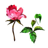 Fiore della peonia del Wildflower in uno stile dell'acquerello isolato Immagini Stock