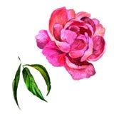 Fiore della peonia del Wildflower in uno stile dell'acquerello isolato Fotografia Stock Libera da Diritti