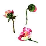 Fiore della peonia del Wildflower in uno stile dell'acquerello isolato Fotografie Stock Libere da Diritti