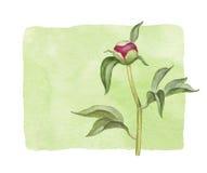 Fiore della peonia dell'acquerello Fotografie Stock Libere da Diritti