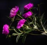 Fiore della peonia su fondo nero Immagine Stock Libera da Diritti