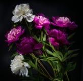 Fiore della peonia su fondo nero Immagine Stock