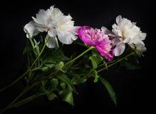 Fiore della peonia su fondo nero Immagini Stock