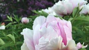 Fiore della peonia su un ramo il sole nel vento video d archivio