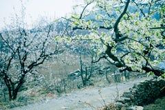 Fiore della pera immagini stock