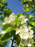 Fiore della pera Fotografie Stock