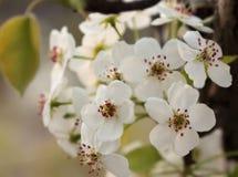 Fiore della pera ad aprile Fotografie Stock