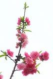 Fiore della pesca fotografie stock libere da diritti