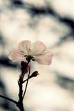 Fiore della pesca Fotografia Stock