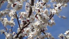 Fiore della pesca ad aprile contro il cielo blu archivi video