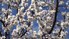 Fiore della pesca ad aprile contro il cielo blu stock footage