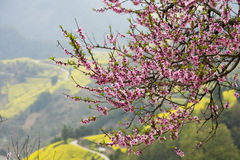 Fiore della pesca della sorgente fotografie stock