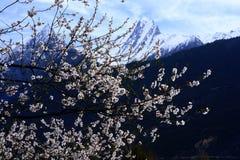 Fiore della pesca di Nyingchi fotografia stock