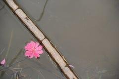 Fiore 2 della pesca di Tet fotografia stock