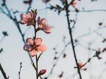 Fiore della pesca nel giardino fotografia stock