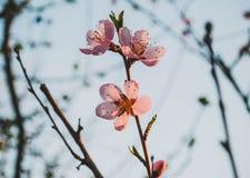 Fiore della pesca nel giardino Fotografia Stock Libera da Diritti