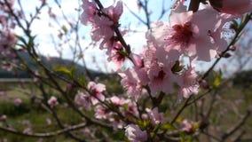 Fiore della pesca sull'albero in natura archivi video