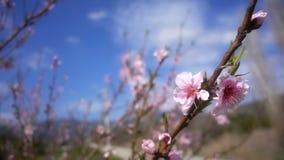 Fiore della pesca sull'albero in natura stock footage