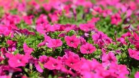 Fiore della petunia archivi video