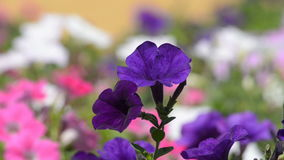 Fiore della petunia stock footage