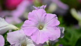 Fiore della petunia video d archivio