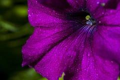 Fiore della petunia Immagine Stock