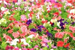 Fiore della petunia Immagini Stock Libere da Diritti