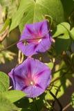 Fiore della petunia fotografia stock